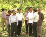 Đồng chí Trần Quốc Nam, Phó Chủ tịch UBND tỉnh kiểm tra khu vực trồng điều hữu cơ của Hợp tác xã Điều hữu cơ Truecoop